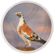 Study Of A Carrier Pigeon Round Beach Towel