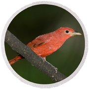 Summer Tanager Male Perched-ecuador Round Beach Towel