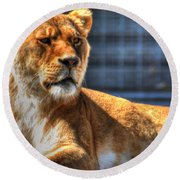 Sunbathing Lioness  Round Beach Towel