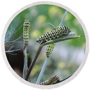 Swallowtail Caterpillars On Dillweed Round Beach Towel