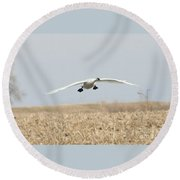 Swan Coming In For A Landing Round Beach Towel