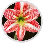 Sweet Lillian Amaryllis Round Beach Towel