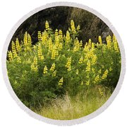 Tall Yellow Lupin Round Beach Towel