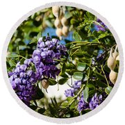 Texas Mountain Laurel Sophora Flowers And Mescal Beans Round Beach Towel