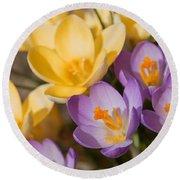 The Purple And Yellow Crocus Flowers Round Beach Towel