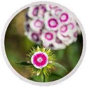 The Star - Beautiful Spring Dianthus Flowers In Bloom. Round Beach Towel