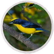 Thick-billed Euphonia Round Beach Towel