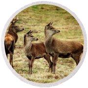 Wildlife Three Red Deer Round Beach Towel