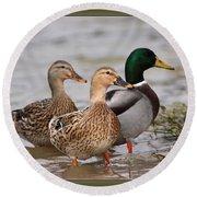 Three Mallards Card - Ducks Round Beach Towel