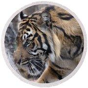 Sumatran Tiger-5418 Round Beach Towel