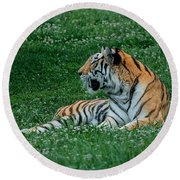 Tiger At Rest 1 Round Beach Towel