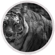 Tiger With A Fixed Stare Round Beach Towel
