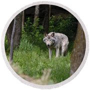 Timber Wolf In Forest Round Beach Towel