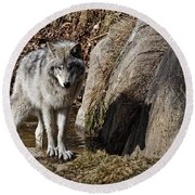 Timber Wolf In Pond Round Beach Towel