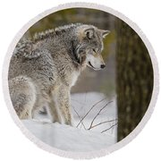 Timber Wolf In Snow Round Beach Towel