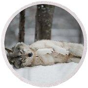 Timber Wolf In Winter Round Beach Towel