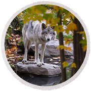 Timber Wolf On Rock Round Beach Towel