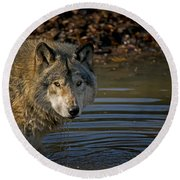 Timber Wolf Pictures 1103 Round Beach Towel
