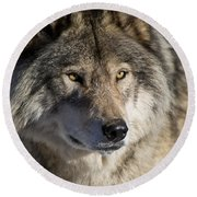 Timber Wolf Pictures 1218 Round Beach Towel