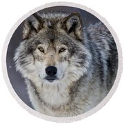 Timber Wolf Pictures 1271 Round Beach Towel