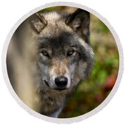Timber Wolf Pictures 1365 Round Beach Towel