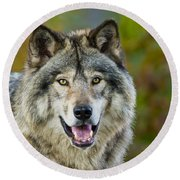 Timber Wolf Pictures 1388 Round Beach Towel