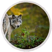 Timber Wolf Pictures 1627 Round Beach Towel