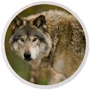 Timber Wolf Pictures 1629 Round Beach Towel