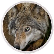 Timber Wolf Pictures 1660 Round Beach Towel
