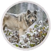 Timber Wolf Pictures 187 Round Beach Towel