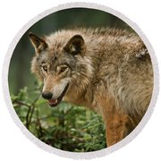Timber Wolf Pictures 262 Round Beach Towel