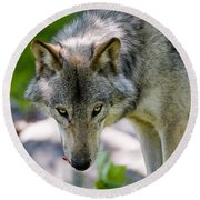 Timber Wolf Pictures 294 Round Beach Towel