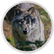 Timber Wolf Pictures 405 Round Beach Towel