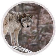 Timber Wolf Pictures 498 Round Beach Towel