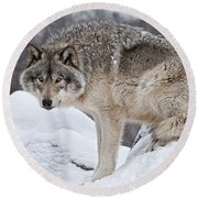 Timber Wolf Pictures 683 Round Beach Towel