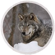 Timber Wolf Pictures 74 Round Beach Towel