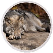 Timber Wolf Pictures 945 Round Beach Towel