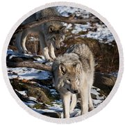 Timber Wolf Pictures 957 Round Beach Towel by World Wildlife Photography