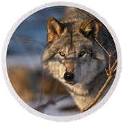 Timber Wolf Pictures 981 Round Beach Towel