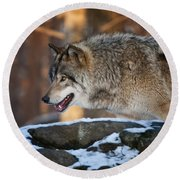 Timber Wolf Pictures 991 Round Beach Towel