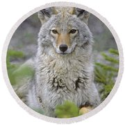 Tk0607, Thomas Kitchin Coyote In Spring Round Beach Towel