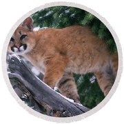 T.kitchin 15274d, Cougar Kitten Round Beach Towel