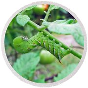 Tobacco Hornworm - Manduca Sexta - Six Spotted Hawkmoth Round Beach Towel