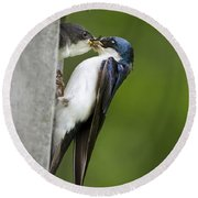 Tree Swallow Feeding Chick Round Beach Towel by Christina Rollo