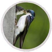 Tree Swallow Feeding Chick Round Beach Towel by Christina Rollo