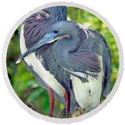 Tricolor Heron Adults In Breeding Round Beach Towel