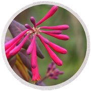 Trumpet Honeysuckle Buds Of Coral Woodbine  Round Beach Towel