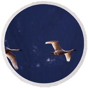 Trumpeter Swans In-flight Round Beach Towel