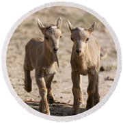 Two Aoudad Babies Playing Round Beach Towel