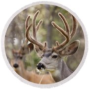 Two Mule Deer Bucks With Velvet Antlers  Round Beach Towel